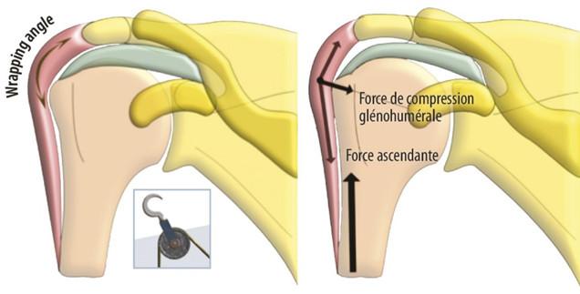 Force ascensionnelle du deltoïde