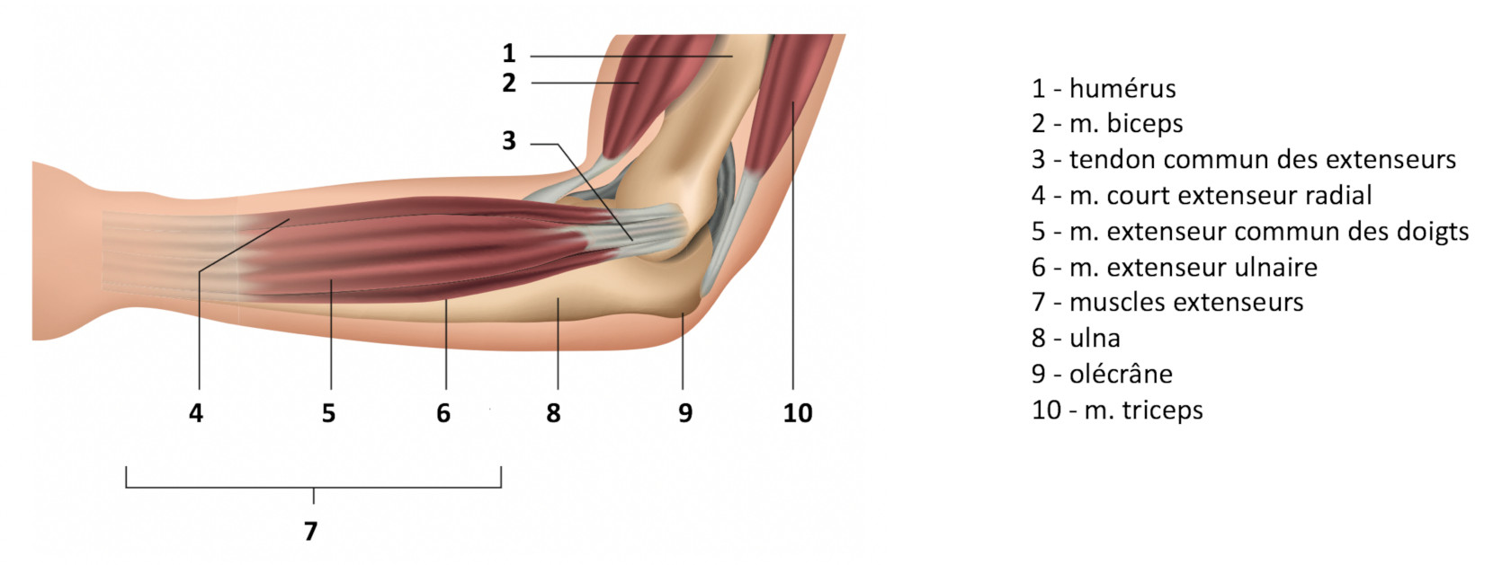 Muscles périarticulaires du coude
