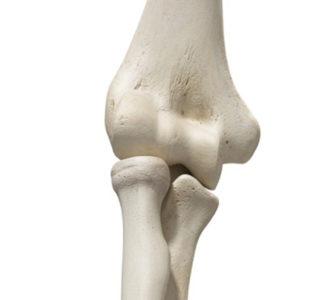 Les os du coude