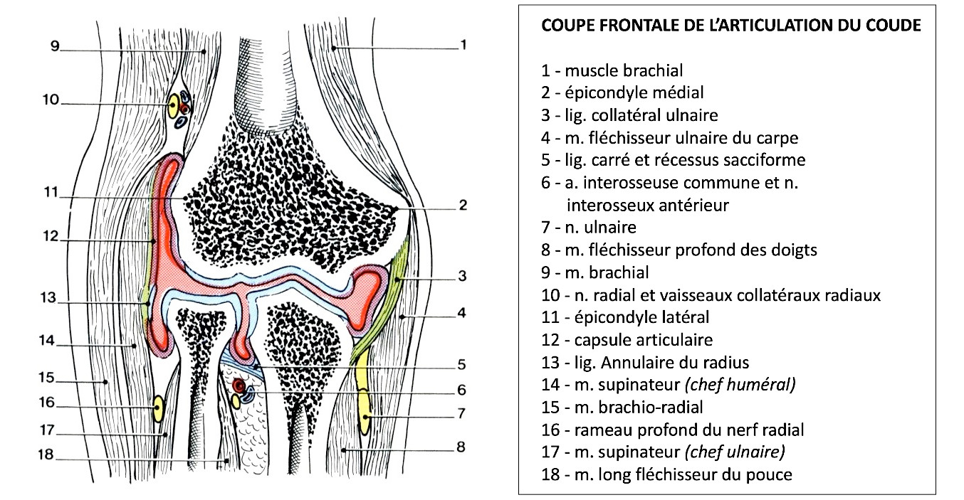 Coupe frontale du coude