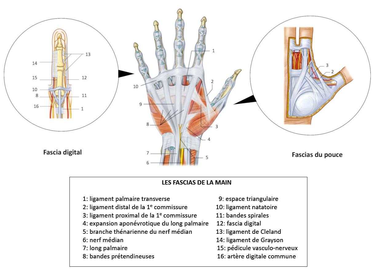 Les fascias aponévrotiques de la main