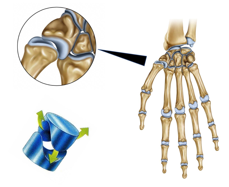 Surfaces articulaires de la trapézo-métacarpienne