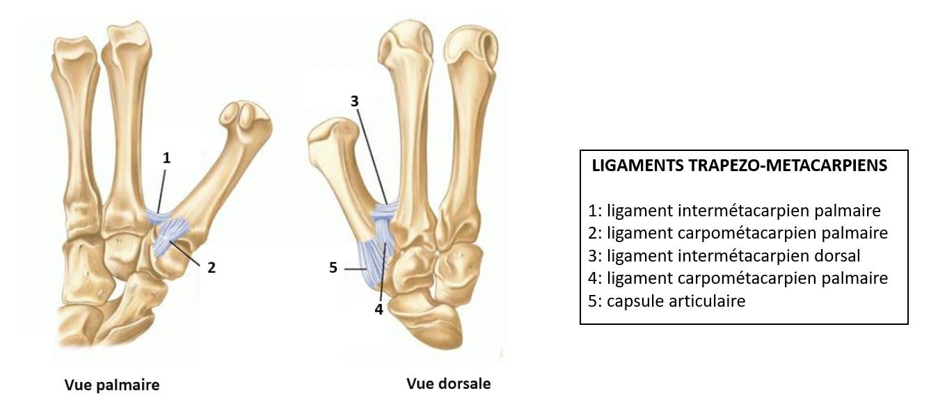 ligaments trapézo-métacarpiens