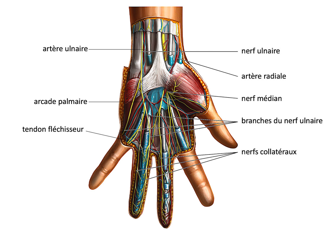 anatomie palmaire de la main