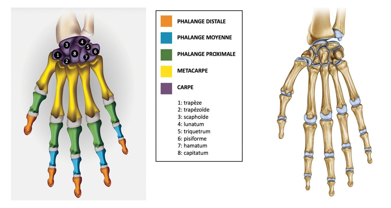 chaines ostéo-articulaires de la main