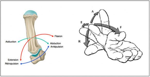 mouvements de la trapézo-métacarpienne