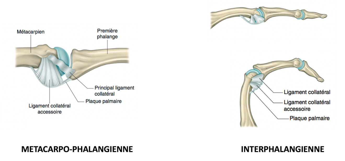 articulations interphalangiennes
