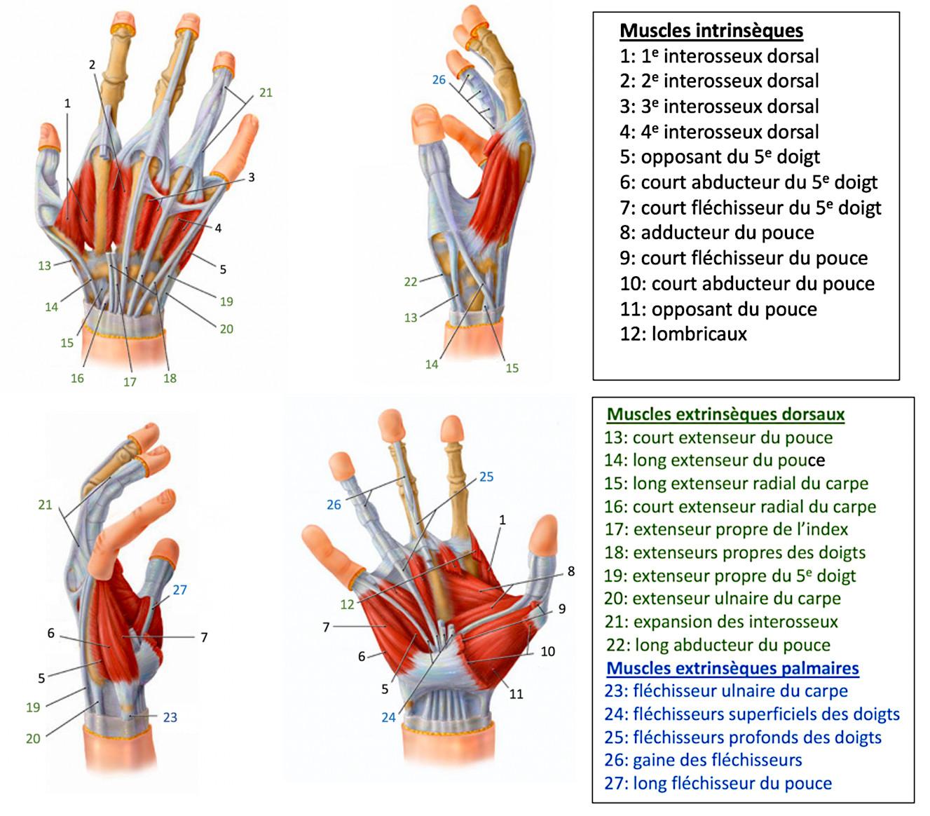 muscles de la main