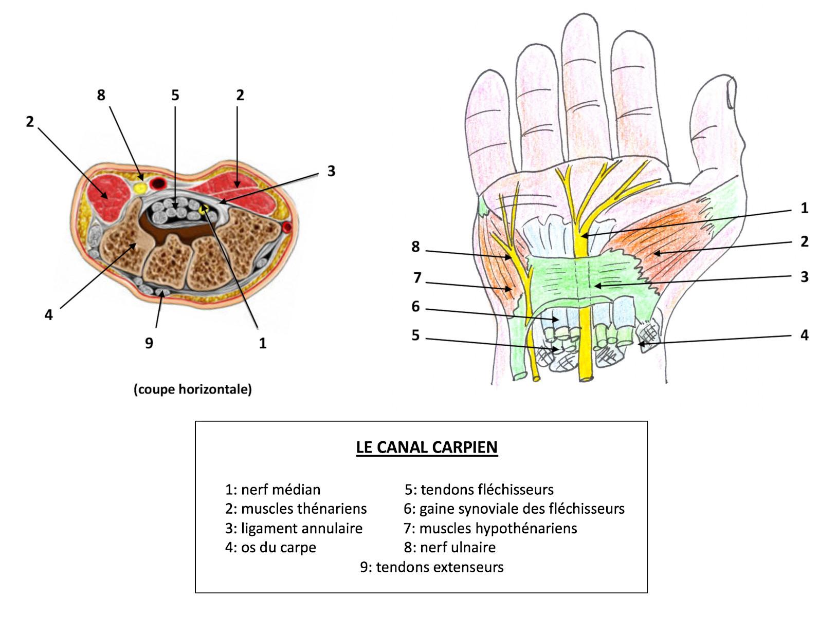 Anatomie du canal carpien