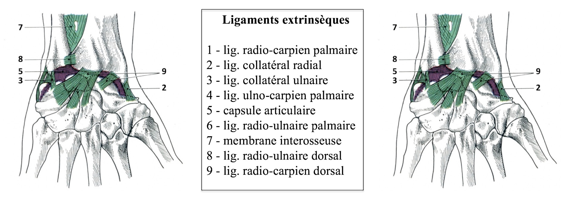 Ligaments extrinsèques du carpe