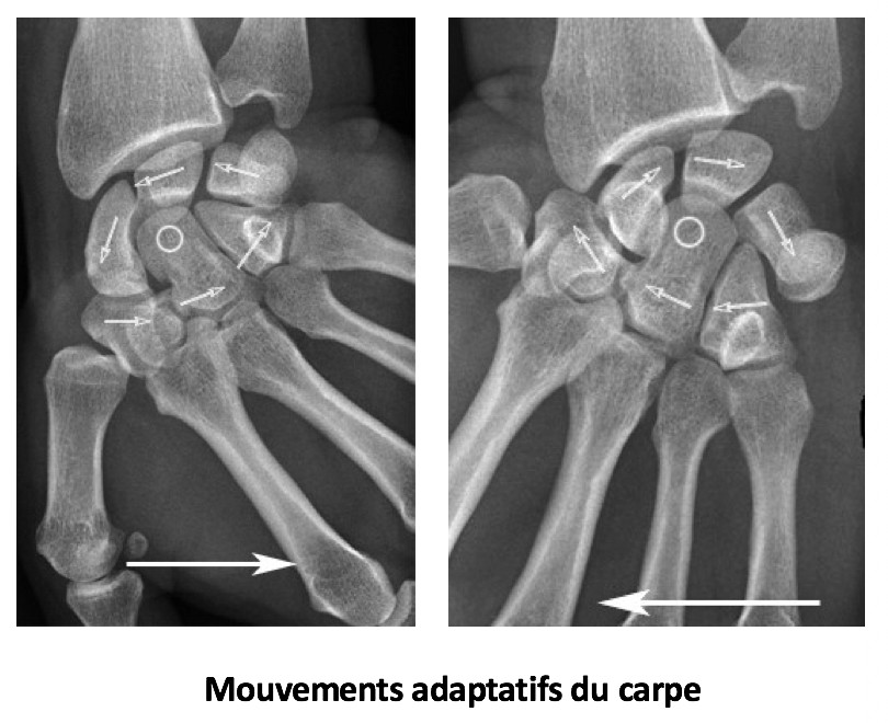 Mouvements adaptatifs du carpe
