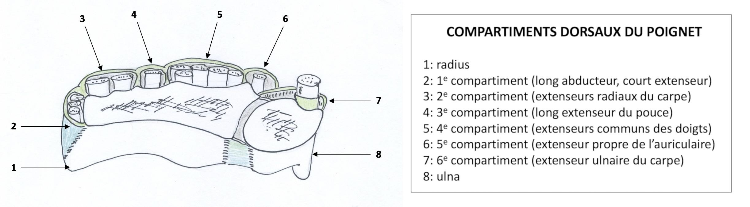 Compartiments dorsaux du poignet