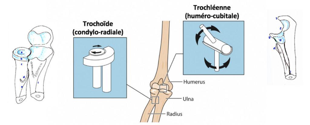 Biomécanique de l'articulation du coude