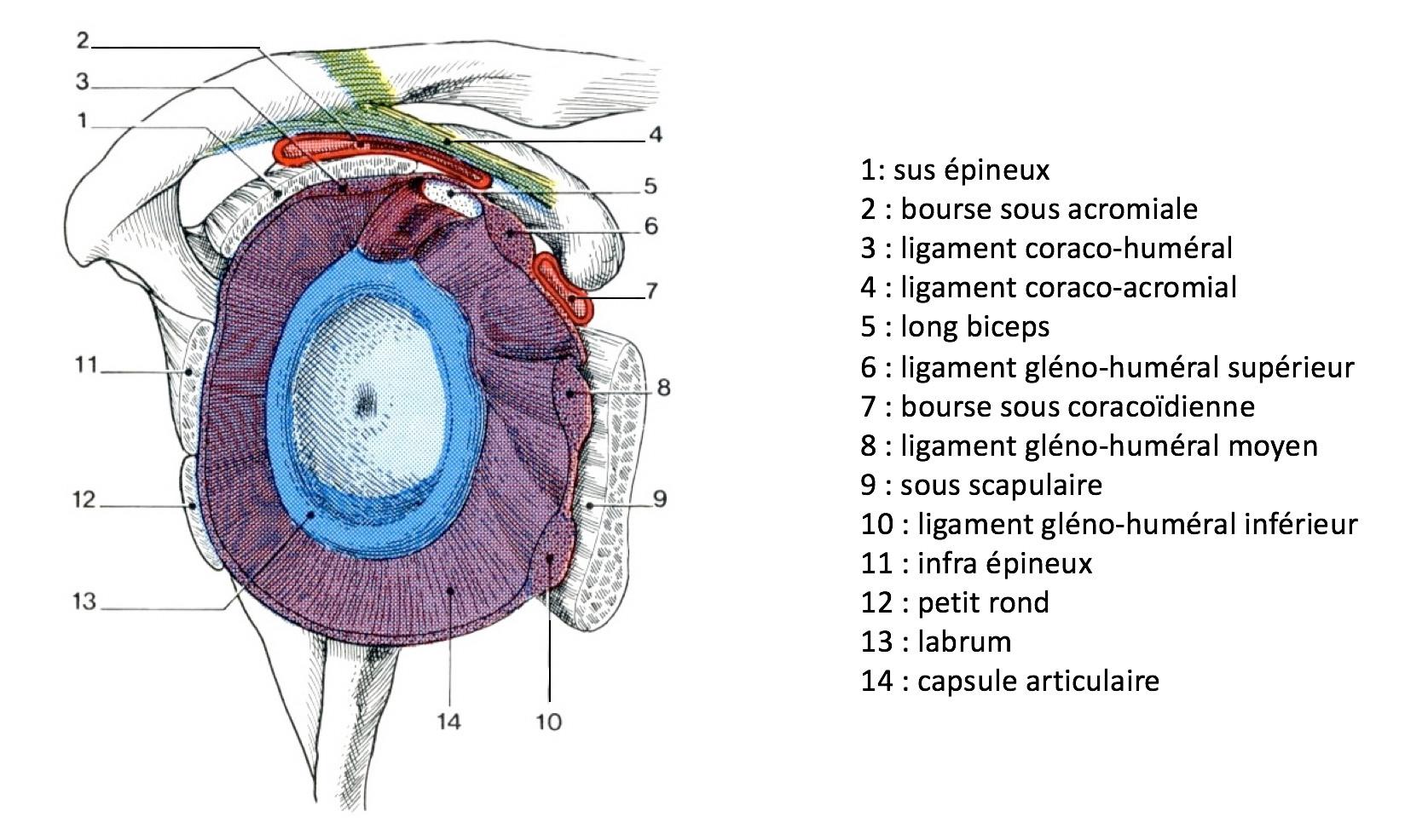 Capsule et ligaments glénohuméraux
